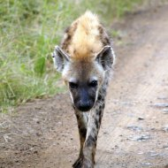 Hyena on the prowl.